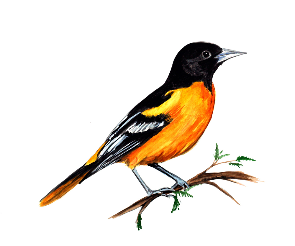 baltimore oriole maryland state bird watching vinyl decal home decor