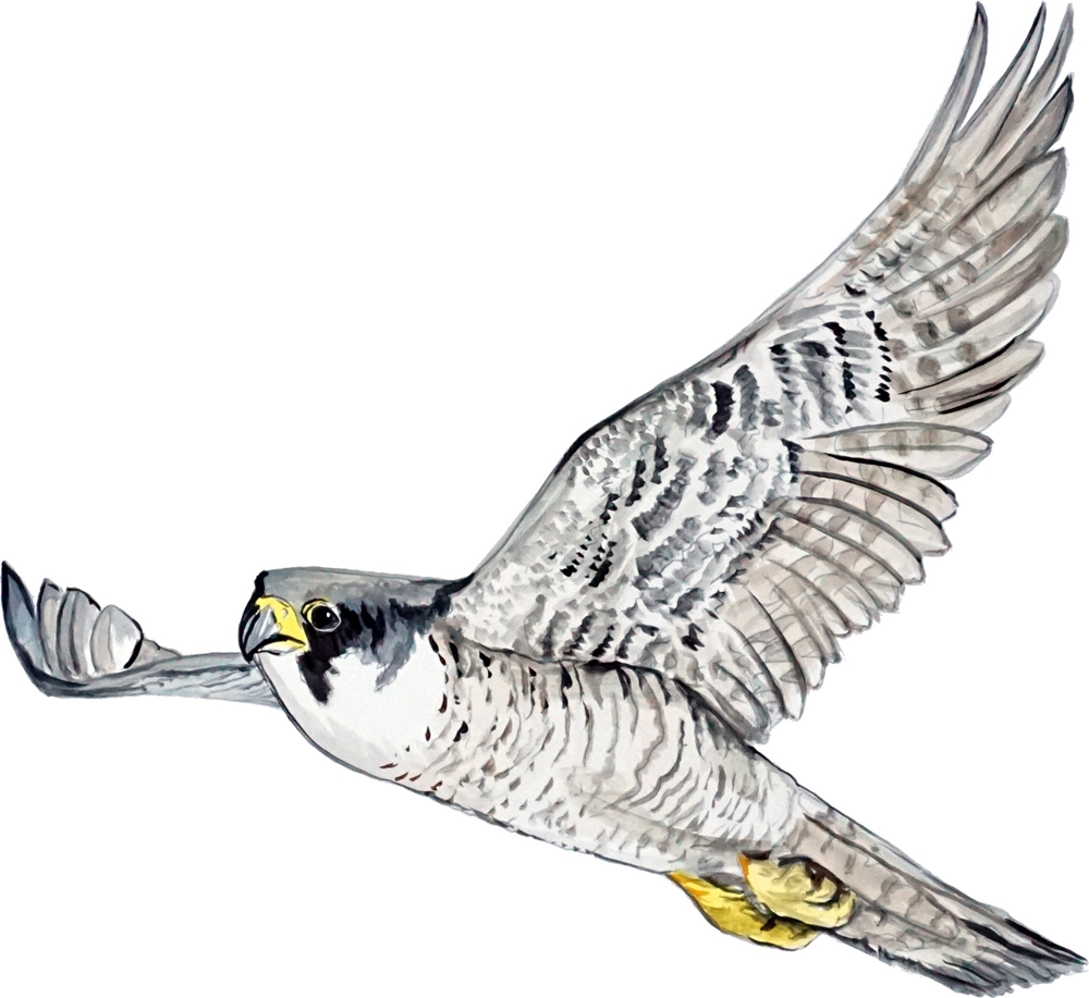 Image is loading Peregrine-Falcon-Bird-Sticker-Decal-Hunt-Fish-Nature-  sc 1 st  eBay & Peregrine Falcon Bird Sticker Decal Hunt Fish Nature Wildlife ...