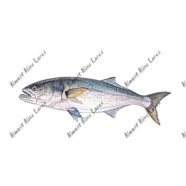 Bluefish - Printed Vinyl Decal