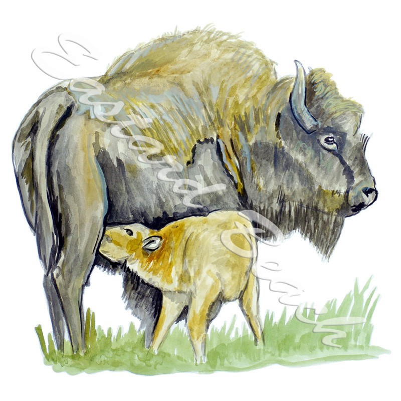 Bison & Calf - Printed Vinyl Decal