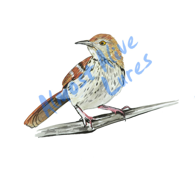 Brown Thrasher - Printed Vinyl Decal