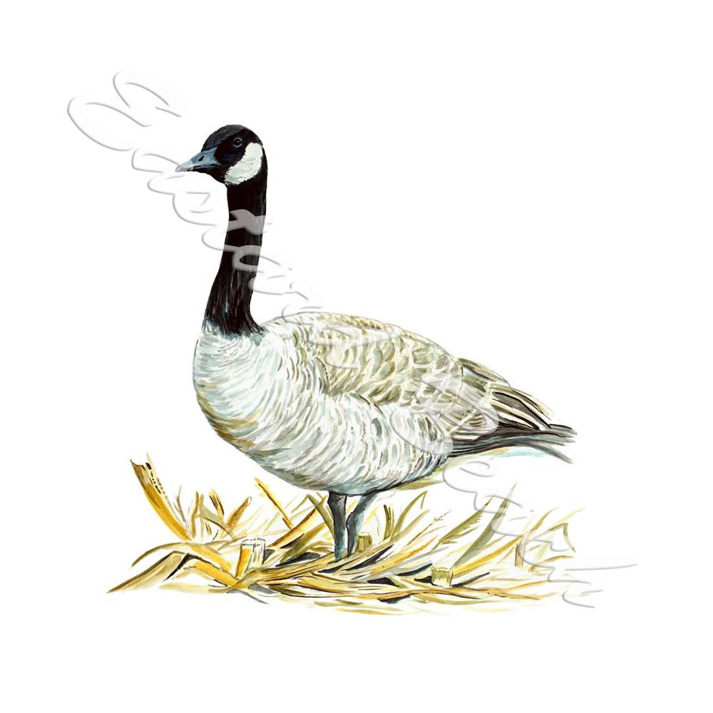 Canadian Goose - Printed Vinyl Decal