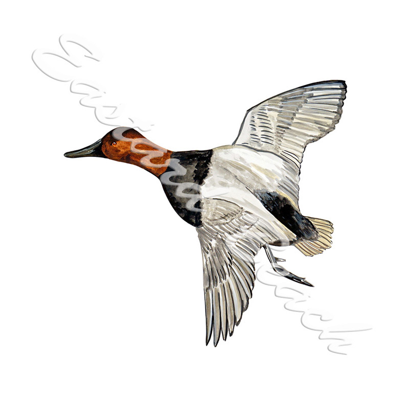 Canvasback Duck Flying - Printed Vinyl Decal