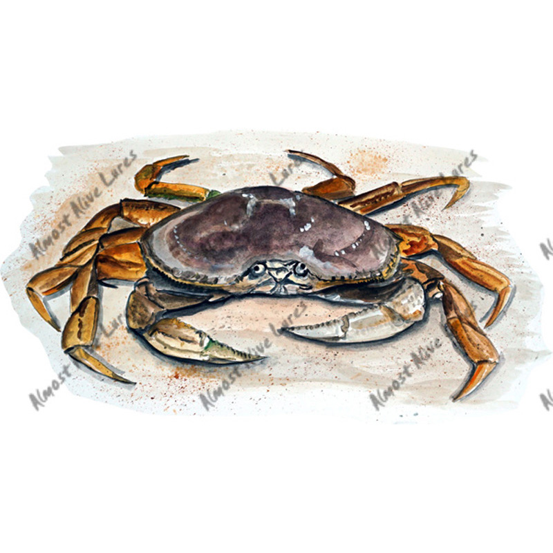 Dungeness Crab - Printed Vinyl Decal