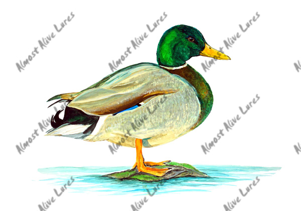 Mallard Duck Standing - Printed Vinyl Decal