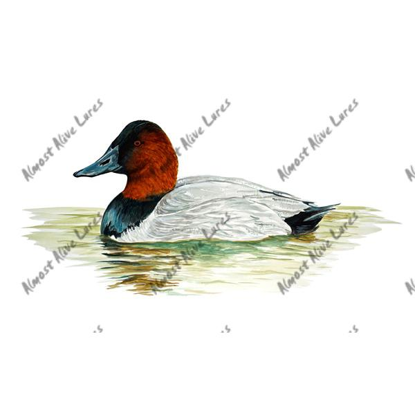 Canvasback Duck Swimming - Printed Vinyl Decal