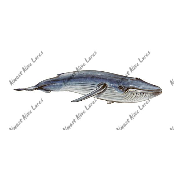 Blue Baleen Whale - Printed Vinyl Decal