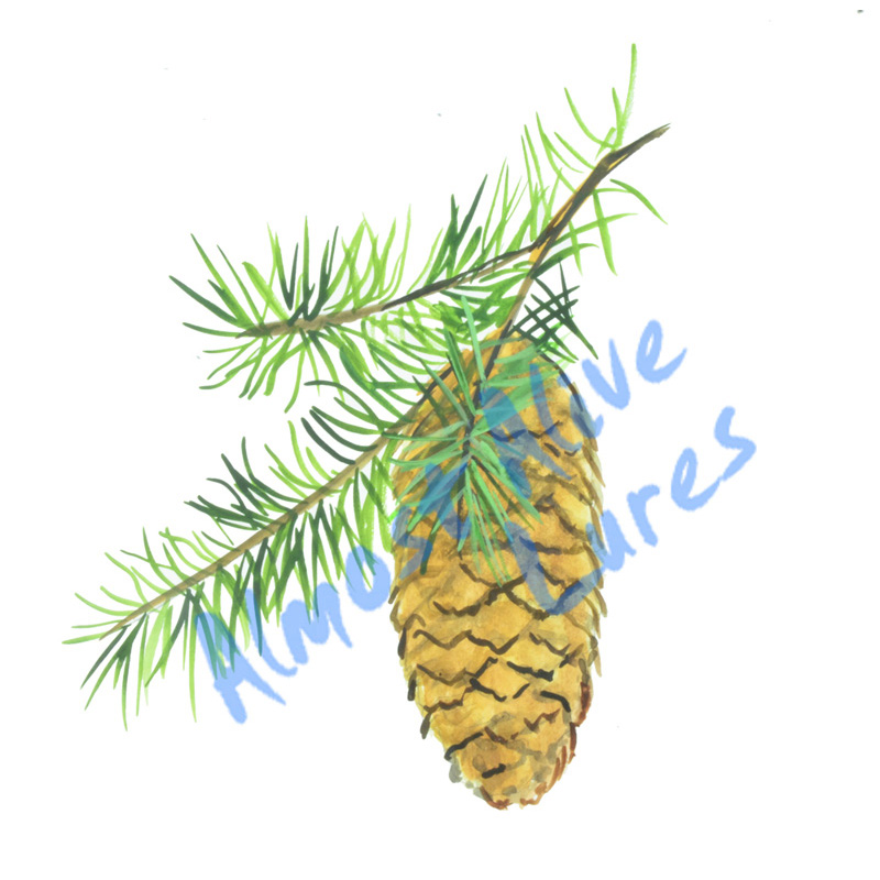 White Pine Cone - Printed Vinyl Decal