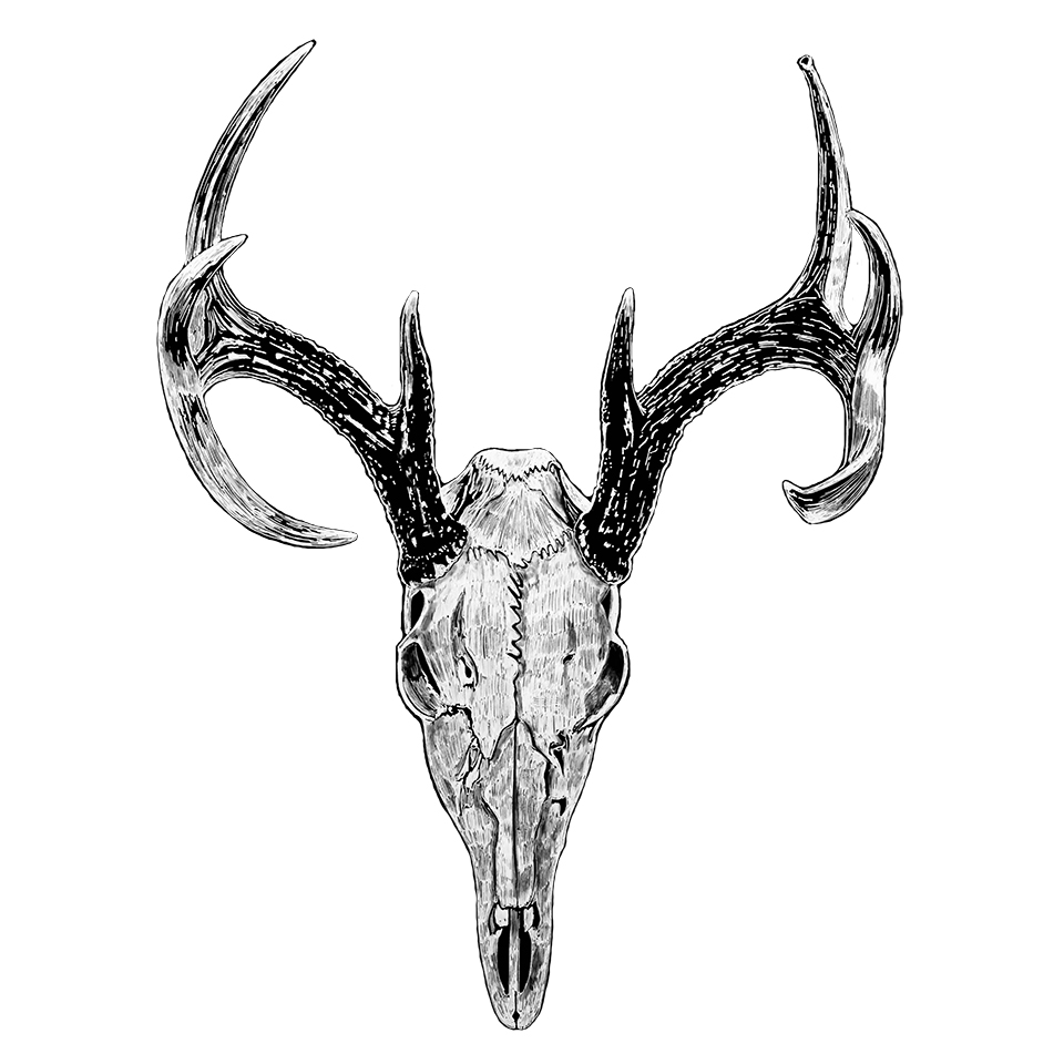 White Tail Deer Skull - Pen & Ink