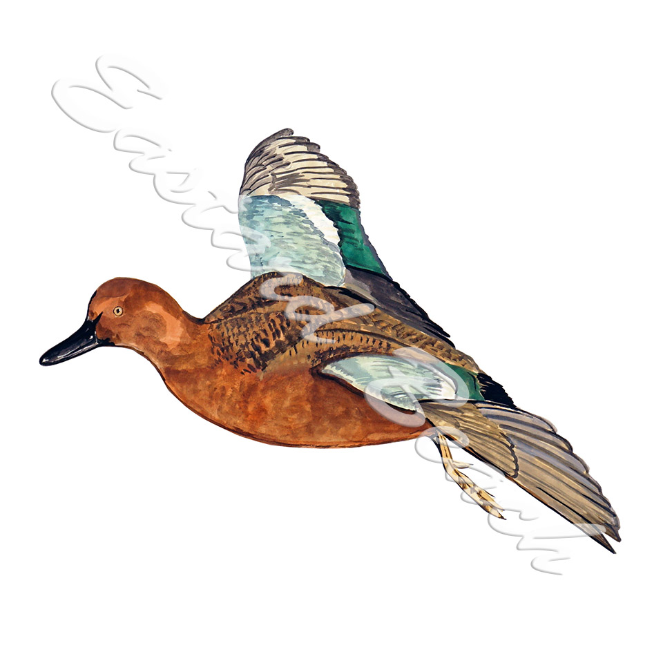 Cinnamon Teal Duck Flying - Printed Vinyl Decal