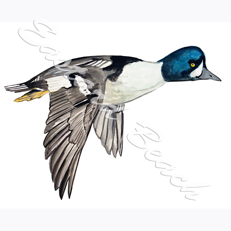 Goldeneye Duck - 3.662 x 5.124 Inches