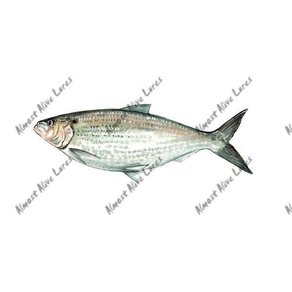Hickory Shad - Printed Vinyl Decal