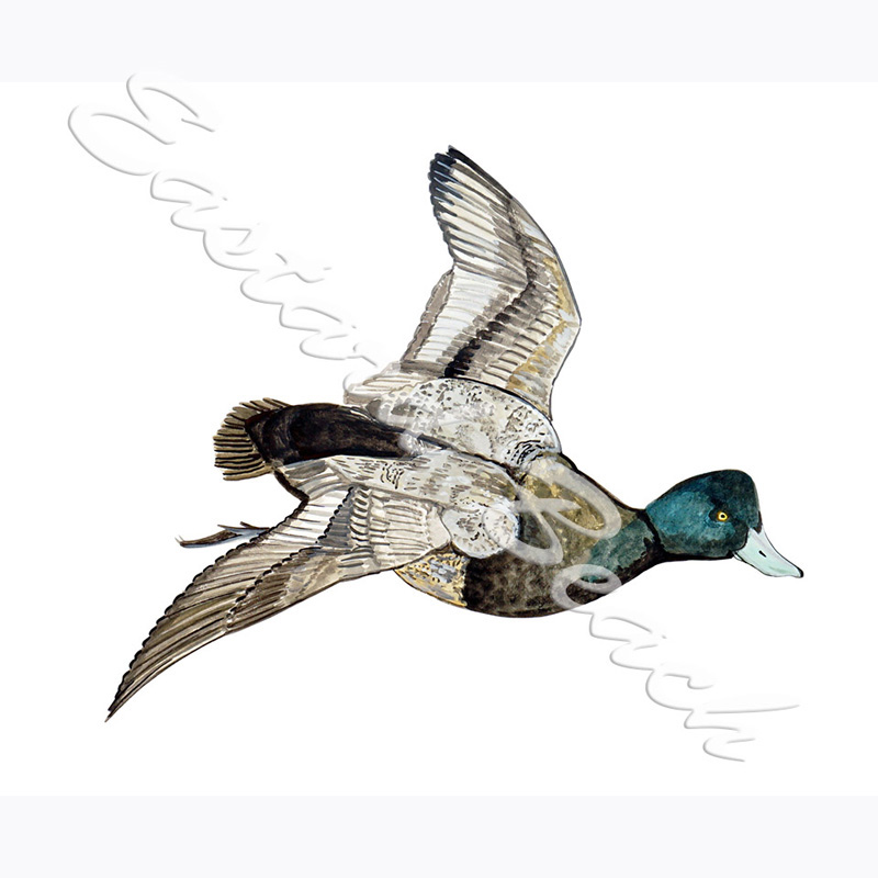 Lesser Scaup Duck - 3.789 x 4.470 inches