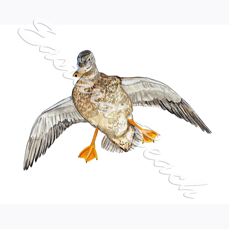 Mallard Hen Flying - 3.595 x 4.645 Inches - Printed Vinyl Decal