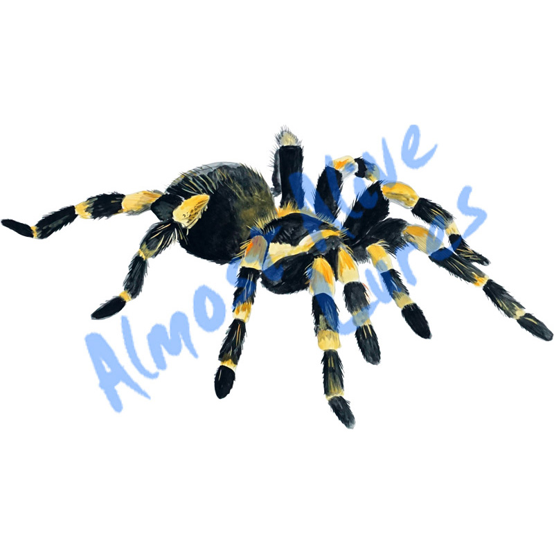 Orange Knee Tarantula - Printed Vinyl Decal