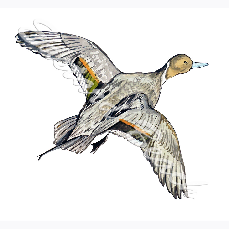 Pintail Duck Flying - Printed Vinyl Decal