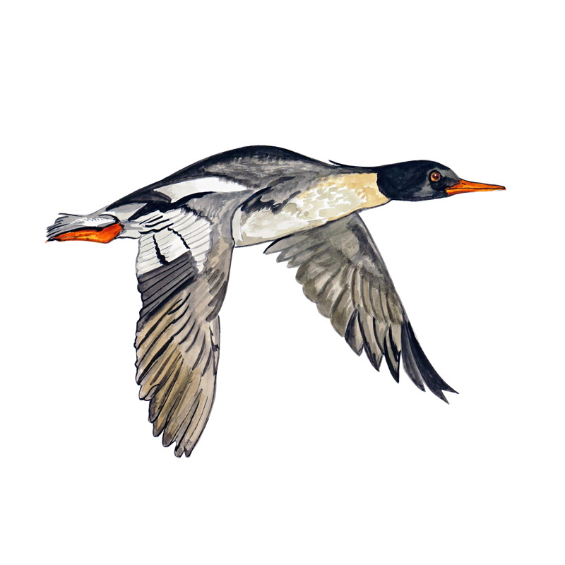 Red Breasted Merganser Duck Flying - Printed Vinyl Decal