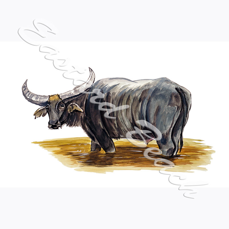 Water Buffalo - Printed Vinyl Decal