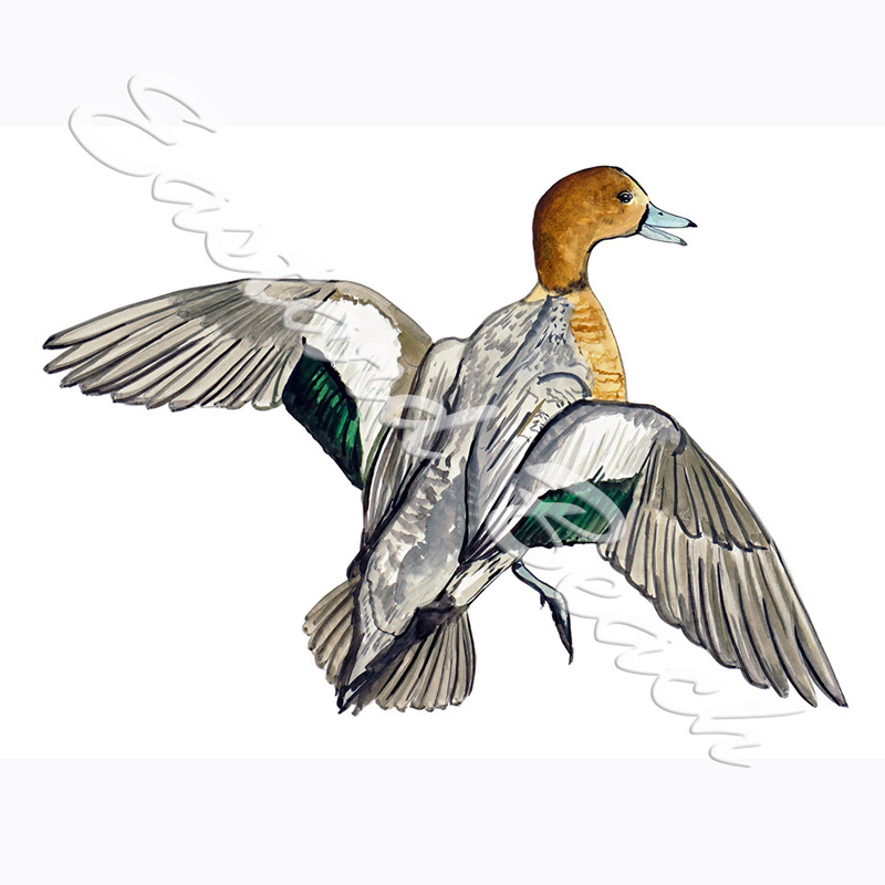 Wigeon Duck - 3.738 x5.111 Inches - Vinyl Printed Decal